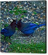 Darling I Have To Tell You A Secret-sweet Stellar Jay Couple Acrylic Print