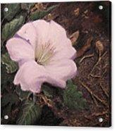 Datura Desert Lily Acrylic Print