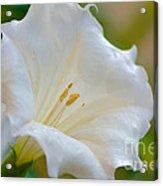 Datura Hybrid White Flower Acrylic Print