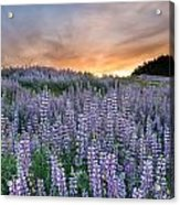 Dawn Of Lupine Acrylic Print