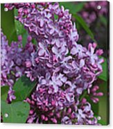 Dawns Lilacs Acrylic Print
