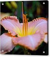 Day Lillie In Yellow And Pink Acrylic Print