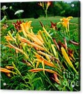 Day Lillies Acrylic Print