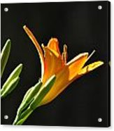 Day Lily 1 Acrylic Print
