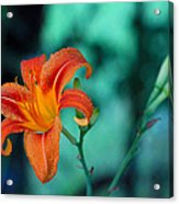 Day Lily 3 Acrylic Print