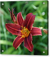 Day Lily 3648 Acrylic Print