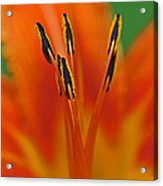 Day Lily Anther Acrylic Print