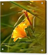 Day Lily Backlit Acrylic Print