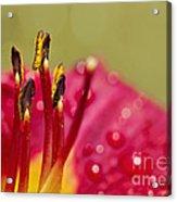 Day Lily Dew Acrylic Print
