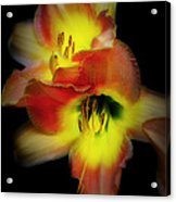 Day Lily On Black Acrylic Print