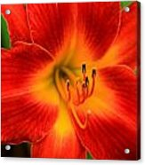 Day Lily1 Acrylic Print