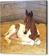 Day Old Colt Acrylic Print