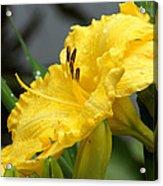 Daylilies Abound Acrylic Print