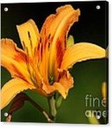 Daylillies0131 Acrylic Print