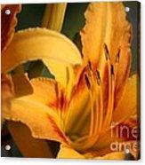 Daylillies0185 Acrylic Print