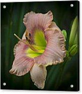 Daylily 5 Acrylic Print