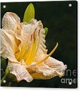 Daylily After A Morning Rain Acrylic Print