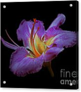 Daylily Bloom In The Dark Acrylic Print by ImagesAsArt Photos And Graphics