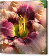 Daylily Collection # 14 Acrylic Print