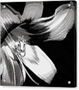 Daylily In Gray Acrylic Print