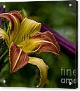 Daylily Picture 452 Acrylic Print