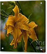 Daylily Picture 474 Acrylic Print