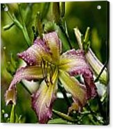 Daylily Picture 494 Acrylic Print