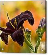 Daylily Picture 514 Acrylic Print