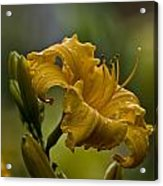 Daylily Picture 558 Acrylic Print