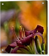 Daylily Pictures 571 Acrylic Print