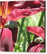 Daylily Shade For A Tree Frog Acrylic Print