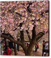 Dc Cherry Blossom Tree Acrylic Print
