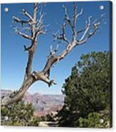 Dead Tree At Grand Canyon South Rim Acrylic Print