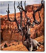 Dead Tree Acrylic Print