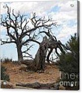 Dead Tree - Natural Bridges National Park Acrylic Print