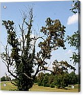 Dead Tree With Ivy Acrylic Print