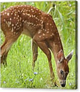 Little Fawn Blue Wildflowers Acrylic Print