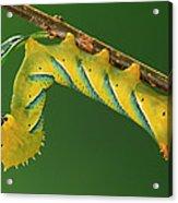 Deaths Head Hawk Moth  Acrylic Print
