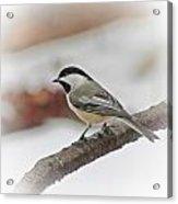 December Chickadee Acrylic Print