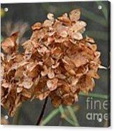 December Hydrangea II Acrylic Print