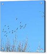 December Sandhill Cranes  Acrylic Print