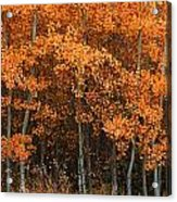 Deciduous Aspen Forest In Fall Acrylic Print