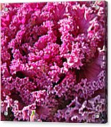 Decorative Fancy Pink Kale Acrylic Print