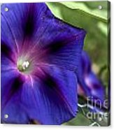 Deep Blue Morning Glories Acrylic Print