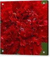 Deep Red Carnation 2 Acrylic Print