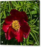 Deep Red Peony With Bright Yellow Stamens  Acrylic Print