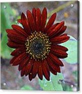 Deep Red Sunflower Acrylic Print