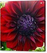 Deep Red To Purple Dahlia Flower Acrylic Print