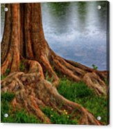 Deep Roots - Tree On North Carolina Lake Acrylic Print by Dan Carmichael
