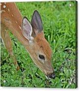 Deer 12 Acrylic Print